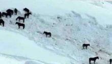 Yaylaya çıkmak için kullanılan atlar, yem masrafı yüzünden doğaya salındı